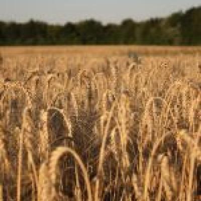 Auf Getreide baut eine gesunde Ernährung nach den 5 Elementen auf.